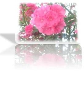 16.- rosa laurel