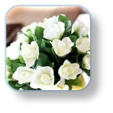17.- gardenia