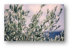 22.- ramos de olivo