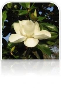 26.- magnolia