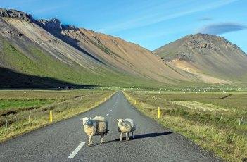 Sheep near Búðir. Photo © Jeffrey Gallant | Diving Almanac