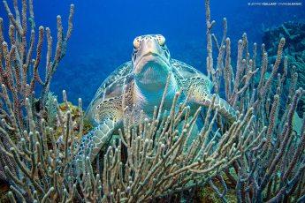 Green sea turtle (Chelonia mydas) off Anthony's Key Resort, Roatan, Honduras. Photo © Jeffrey Gallant | Diving Almanac