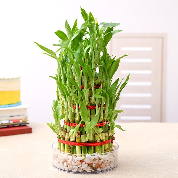 https://i0.wp.com/divinityworld.com/wp-content/uploads/2020/04/7-layer-lucky-bamboo-plant.jpg?resize=600%2C600&ssl=1
