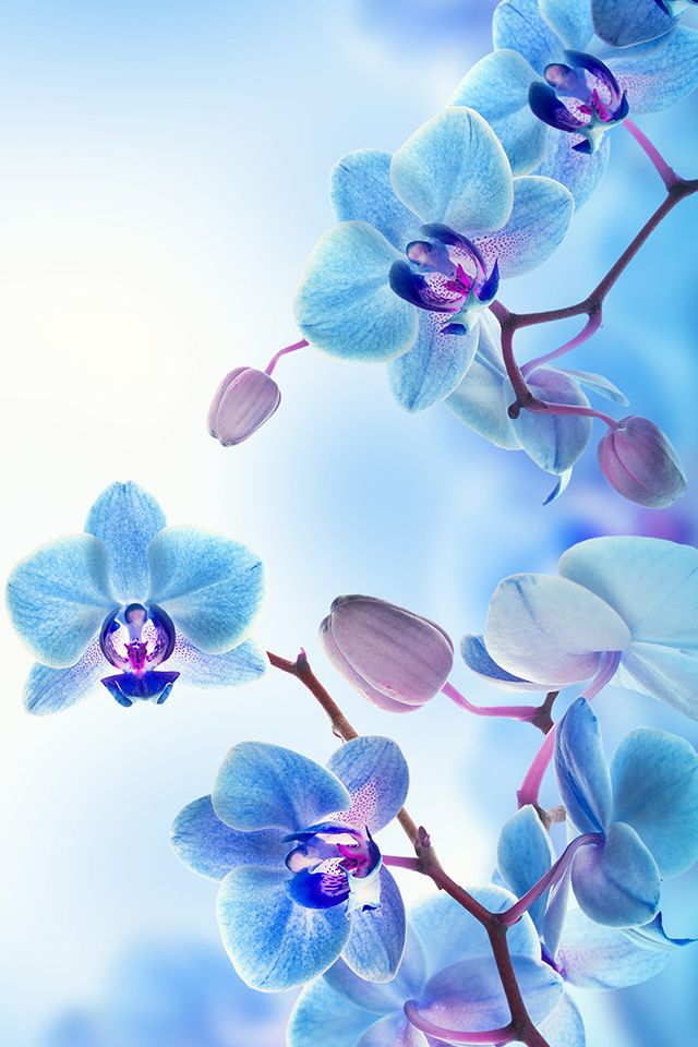 Cute Pink Cell Phone Wallpaper 青い花 Iphone壁紙ギャラリー