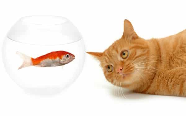 gato pensando observando peixe aquário água