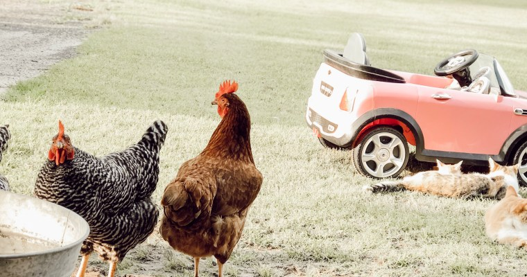 Why Free Range Chickens Aren't For Everyone