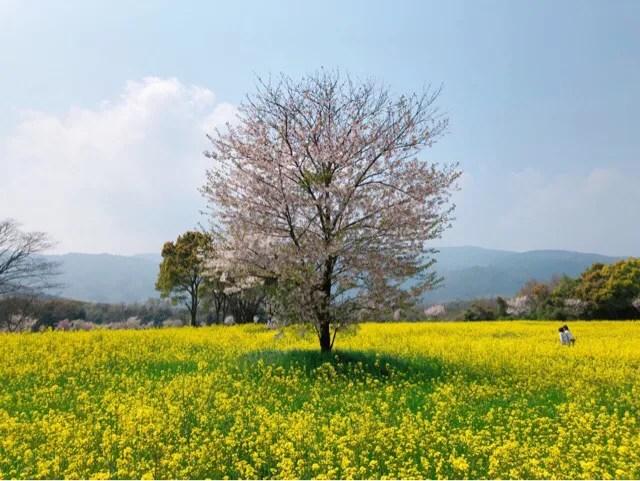 春の花まつりは菜の花と桜のコラボが綺麗