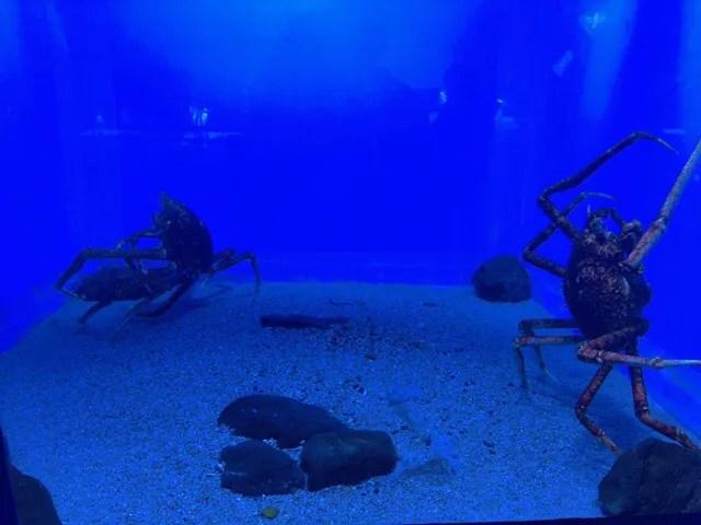 ペンギン水族館のタカアシガニ
