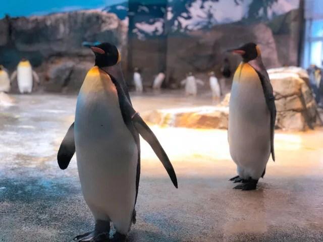 ペンギン水族館のキングペンギンが大人しい