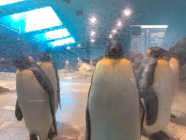 ペンギン水族館のキングペンギンが並んでいる