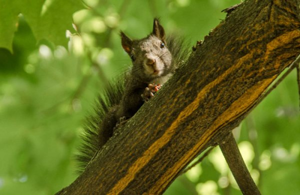Best way to catch a squirrel in attic – Humane squirrel trap