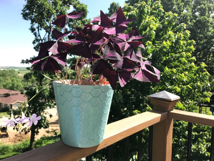 Can't kill this purple shamrock plant!