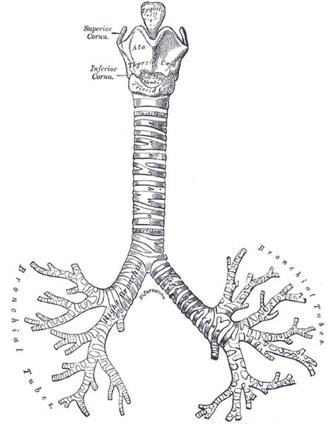 cabang batang tenggorokan disebut - DUNIA PENDIDIKAN