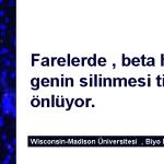 Farelerde , beta hücrelerdeki bir genin silinmesi tip 1 diyabeti önlüyor.