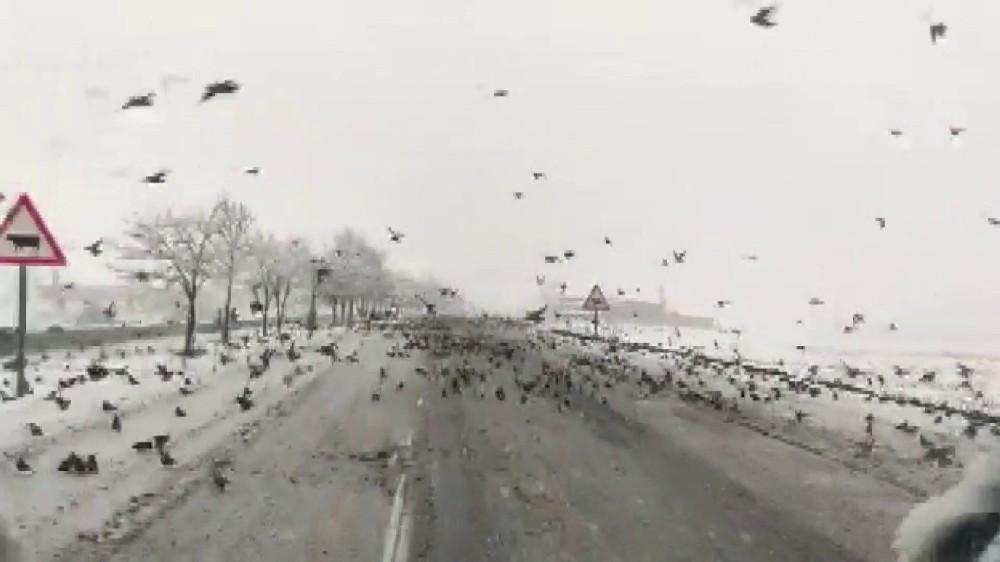 Diyarbakır'da aç kalan kuş sürüleri yollara indi