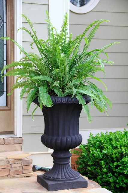Kimberly Fern Queen plants add so much class and good health to the household!
