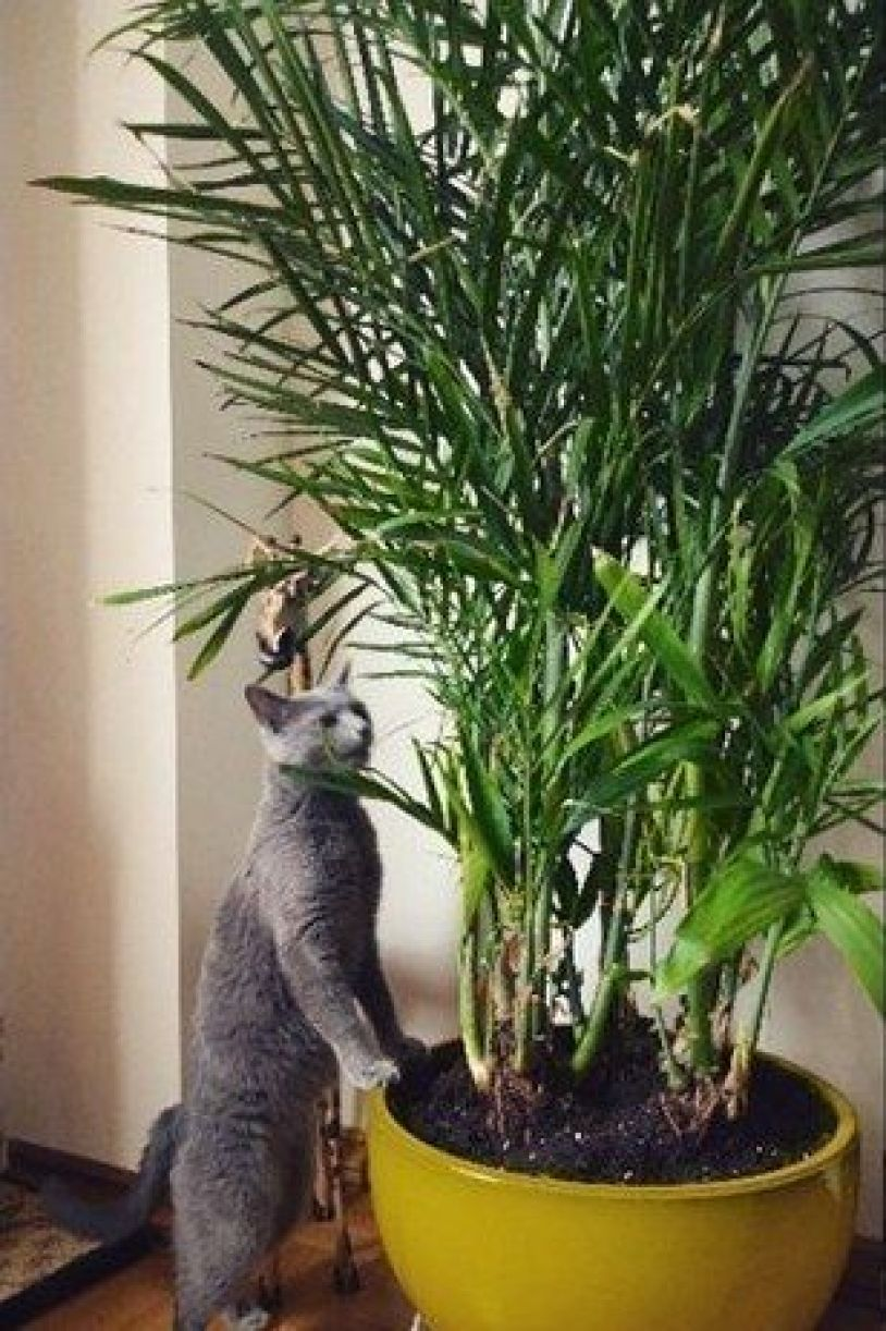 Bamboo Palms are a cat-friendly beautiful way to decorate your home!
