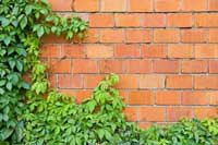 Ivy on wall representing ivy league education