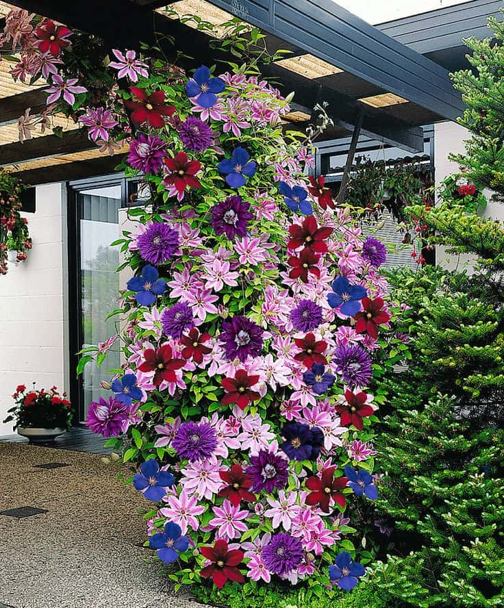 Colorful Clematis Climbing Plants