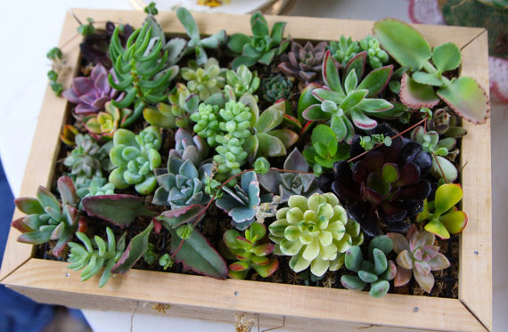 RESERVED, 100 Succulent Cuttings, A Nice Assortment For Living Walls, Starting A Succulent Garden, Wedding Decor, Quality Succulents by SucculentsGalore