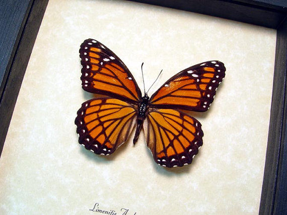 Limenitis Archippus The Viceroy Real Framed North America Butterfly 8339 by REALBUTTERFLYGIFTS