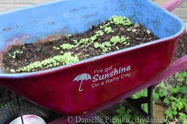 An old upcycled wheelbarrow growing lettuce.