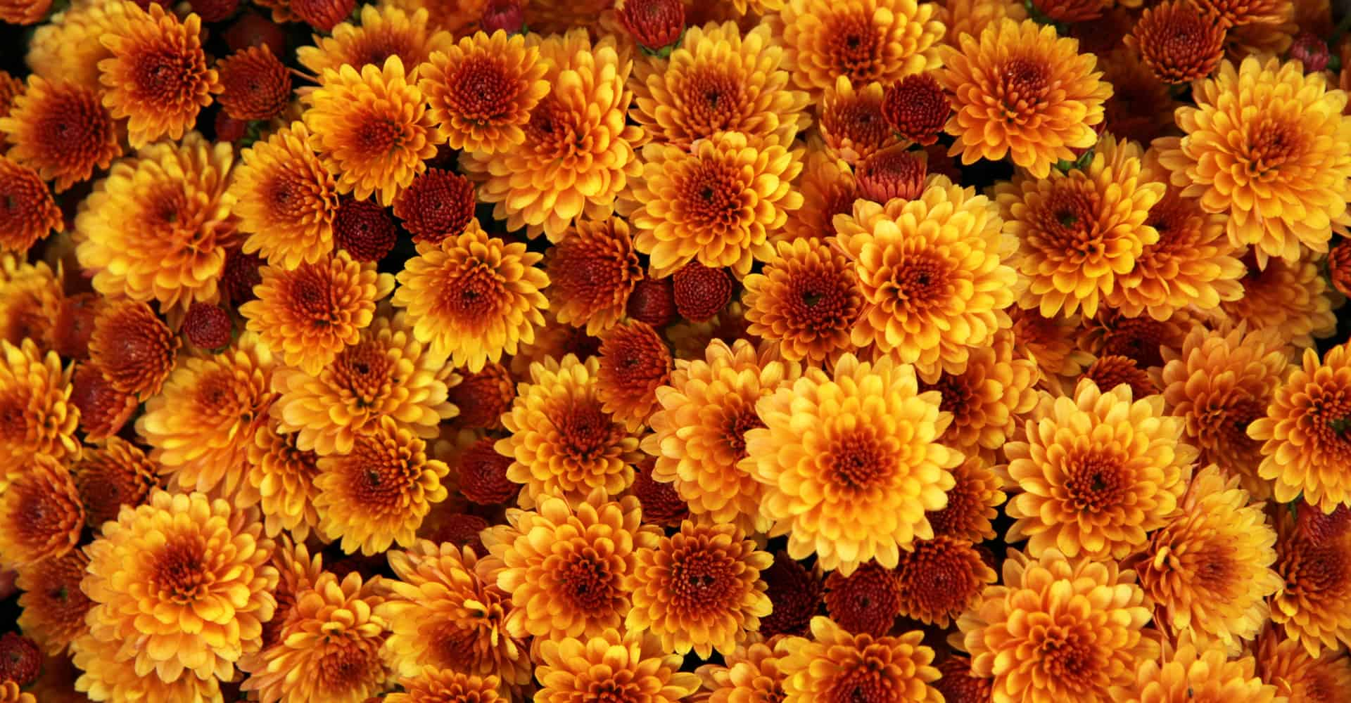 Chrysanthemum Care Guide How To Grow Chrysanthemum Diy