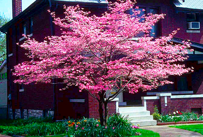 dogwood trees types facts
