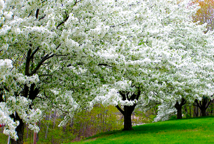 ornamental trees landscaping