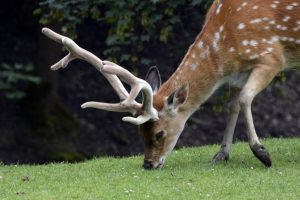 spotted deer eating grass on green grass at daytime deer-resistant