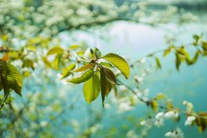 cherry blossom tree near lake in close up garden photography