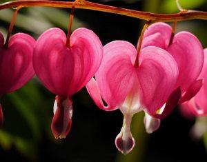 early spring flowers bleeding heart