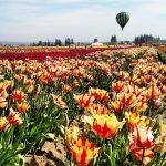Field Trip: Wooden Shoe Tulip Farm