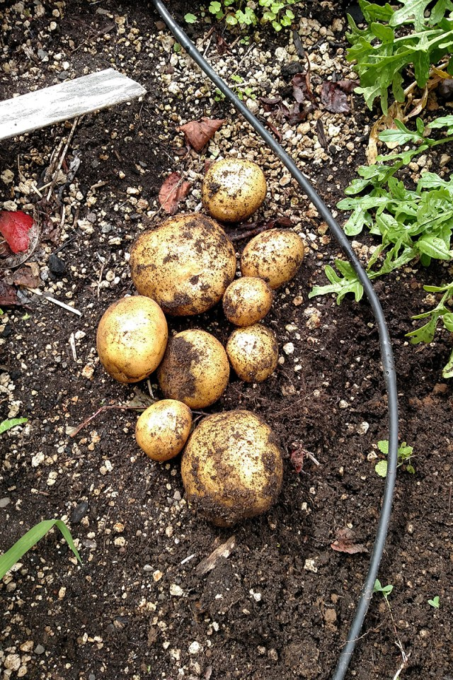 home-grown potatoes