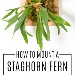 How to Mount a Staghorn Fern to Hang on Your Wall