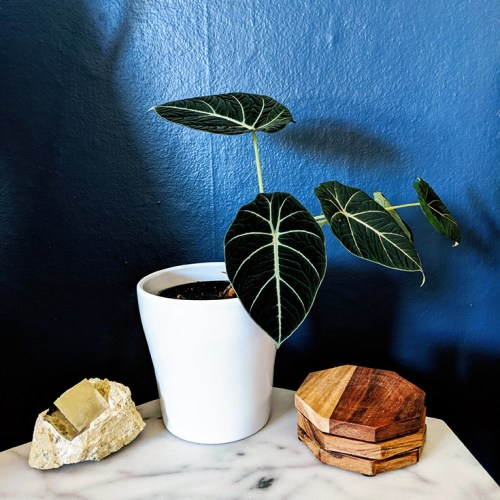 Houseplant in front of dark blue walls