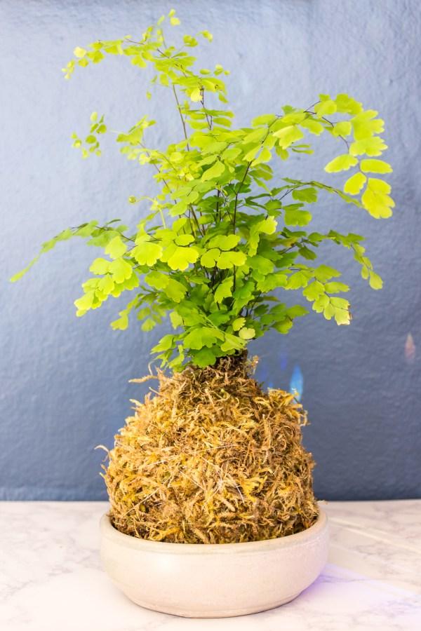 How to Make Kokedama Plant Moss Balls