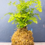 How to Make Kokedama Plant Moss Balls