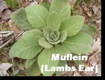 "The leaves of the Mullein plant feel soft like ""lambs ears"""
