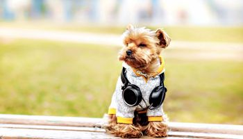 Featured | Dog in windcheater and jacket hoodie with headphones | Easy No-Sew Dog Jacket DIY Project For Your Pet Pup
