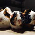 Diy Guinea Pig Cage Ideas For Your Adorable Cavies Diy Projects