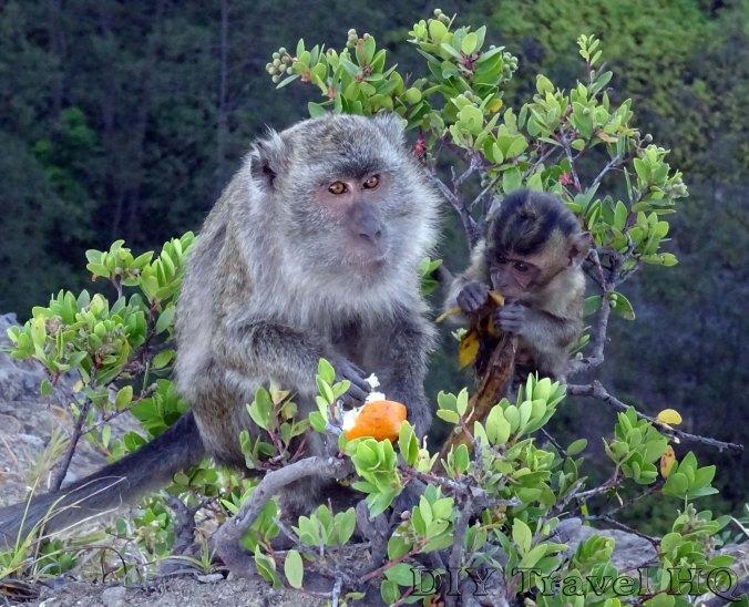 Mt Kelimutu Monkies Foraging