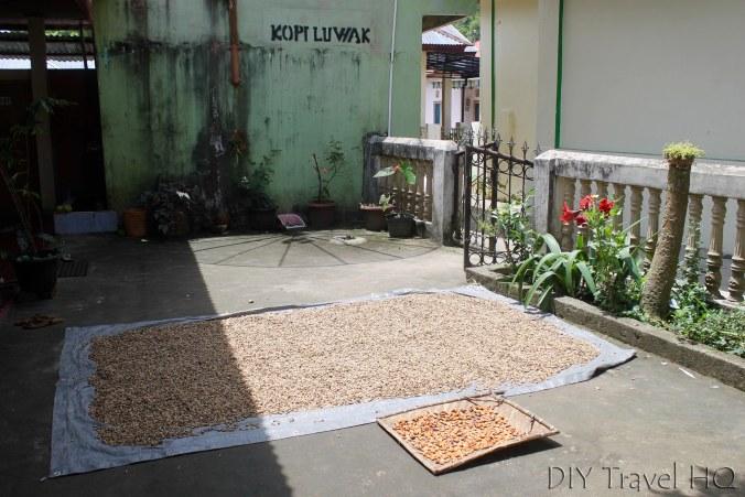 Coffee Luwak Cat Poo Drying