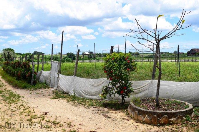 Tobacco plantation Alejandro Robaina