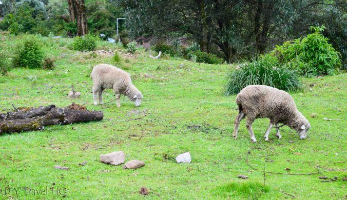 Exploring La Ventosa Grazing Sheep