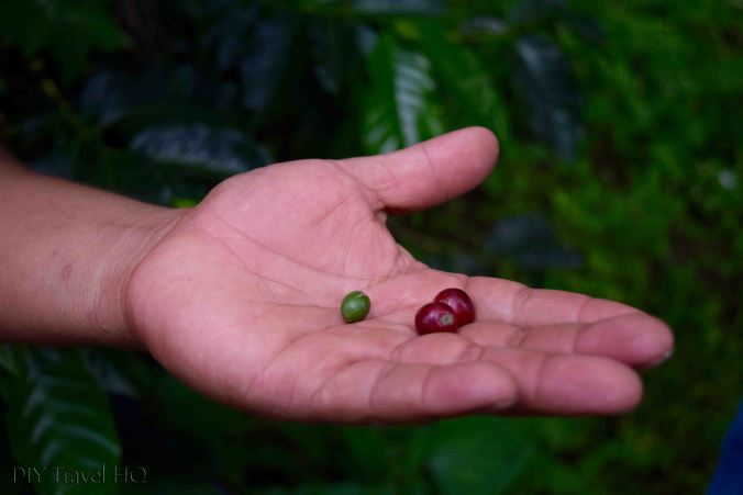 Green & red coffee beans