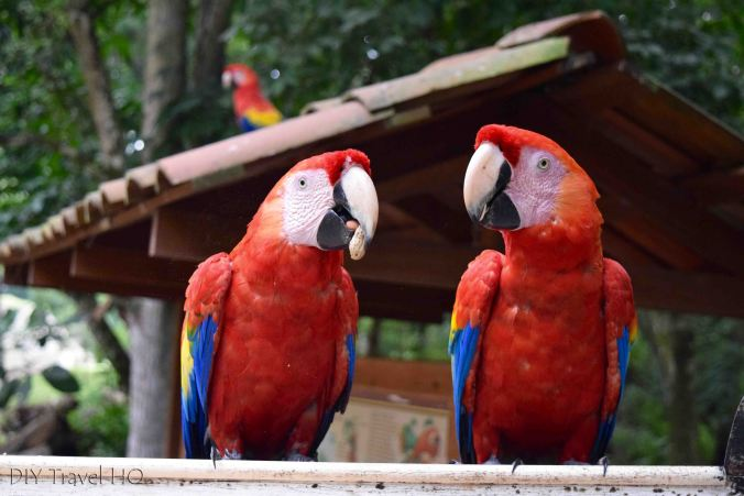Macaws at Copan Ruinas
