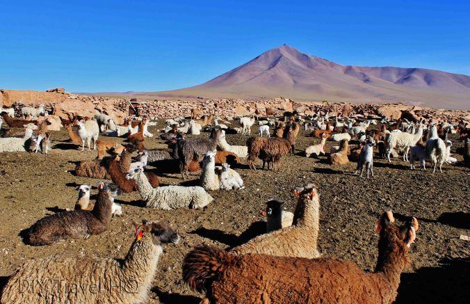 Llama Alpaca farm
