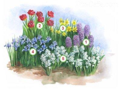 Выращиваем луковичные ирисы особенности посадки и ухода