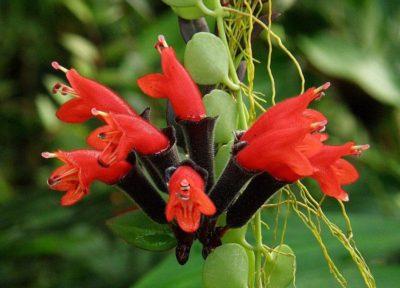 Bunga escinantus